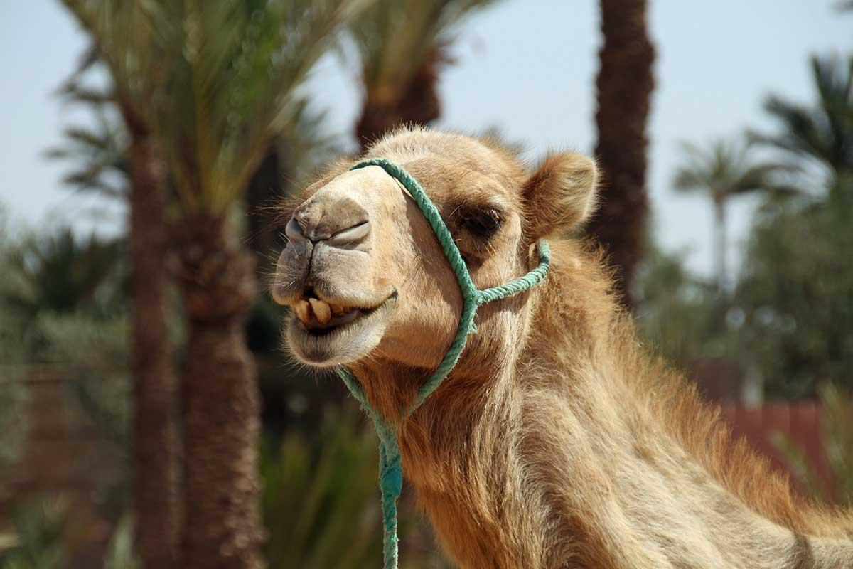 Dromedario fauna Marruecos